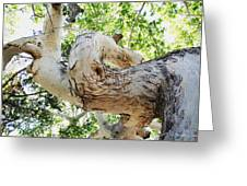 Sycamore Tree's Twisted Trunk Greeting Card