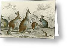 Various Kangaroos  Lord Derby's, Aroe Greeting Card