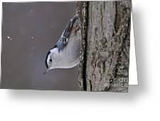 White-breasted Nuthatch Pictures 27 Greeting Card
