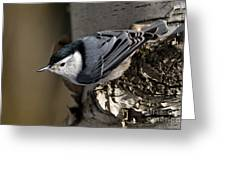 White-breasted Nuthatch Pictures 35 Greeting Card