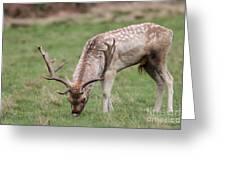01 Fallow Deer Greeting Card