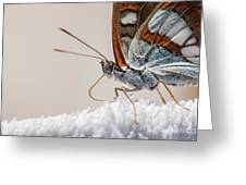 01 Southern White Admiral Butterfly Close Up Greeting Card
