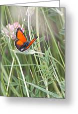 02 Balkan Copper Butterfly Greeting Card