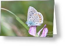 02 Common Blue Butterfly Greeting Card