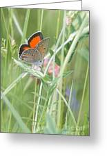 03 Balkan Copper Butterfly Greeting Card