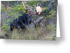 0339 Bull Moose 3 Greeting Card
