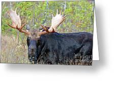 0341 Bull Moose Greeting Card