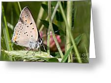 05 Balkan Copper Butterfly Greeting Card