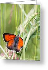 07 Balkan Copper Butterfly Greeting Card