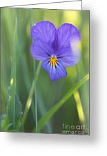 01 Heart's Ease Wild Viola Greeting Card
