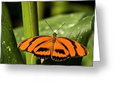 A Banded Orange Heliconian Butterfly Greeting Card