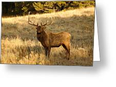 A Bull Elk In Rut Greeting Card
