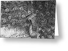 A Peacock's Feathers Greeting Card