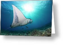 A Reef Manta Ray  Manta Alfredi Greeting Card
