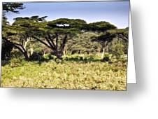 Acacia Trees Greeting Card