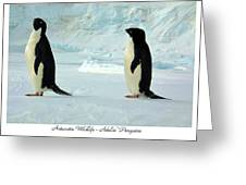 Adelie Penguins Greeting Card by David Barringhaus