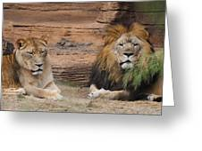African Lion Couple Greeting Card