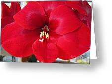 Amaryllis Named Black Pearl Greeting Card