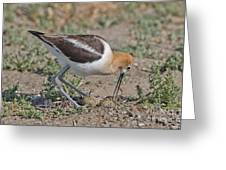 American Avocet And Eggs Greeting Card