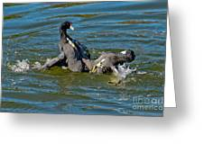 American Coots Fighting Greeting Card