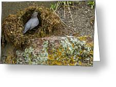 American Dipper Building Nest   #1535 Greeting Card