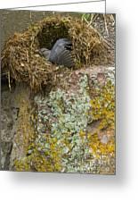 American Dipper In Nest   #1468 Greeting Card