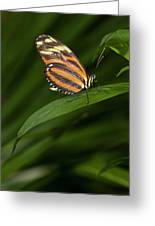 An Isabella Butterfly Eueides Isabella Greeting Card