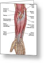 Anatomy Of Forearm Muscles, Anterior Greeting Card