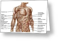 Anatomy Of Human Abdominal Muscles Greeting Card