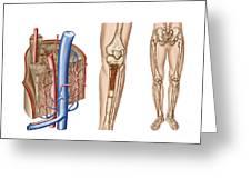 Anatomy Of Human Bone Marrow Greeting Card
