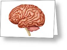 Anatomy Of Human Brain, Side View Greeting Card