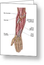 Anatomy Of Human Forearm Muscles, Deep Greeting Card