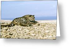 Arabian Leopard Panthera Pardus 1 Greeting Card