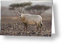 Arabian Oryx Oryx Leucoryx Greeting Card