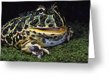 Argentine Horned Frog Greeting Card