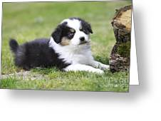 Australian Shepherd Puppy Greeting Card