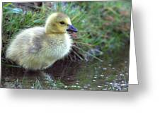 Baby Canada Goose Greeting Card