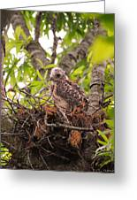 Baby Red Shouldered Hawk Greeting Card