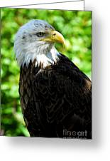 Bald Eagle - Alaska Greeting Card