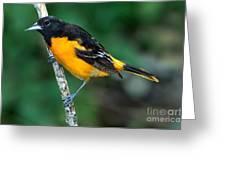 Baltimore Oriole Icterus Galbula Greeting Card
