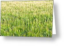 Barley Greeting Card
