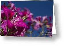 Bauhinia Purpurea - Hawaiian Orchid Tree Greeting Card