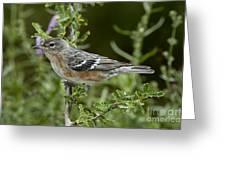 Bay-breasted Warbler Greeting Card