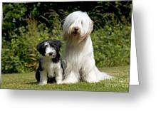Bearded Collie And Puppy Greeting Card