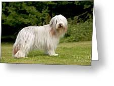 Bearded Collie Dog Greeting Card