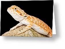 Bearded Dragon Pogona Sp. On Rock Greeting Card