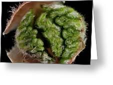 Beech (fagus Sylvatica) Tree Leaf Bud Greeting Card