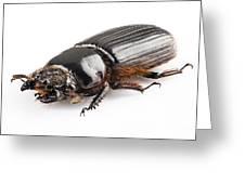 Beetle Aceraius Grandis Greeting Card