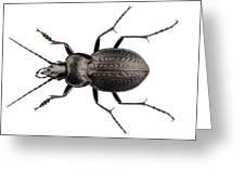 Beetle Species Carabus Coriaceus Greeting Card