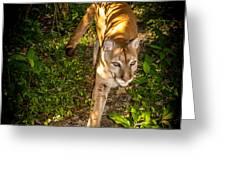 Belize Mountain Lion Greeting Card